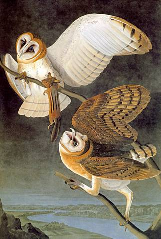 Barn Owl - John James Audubon