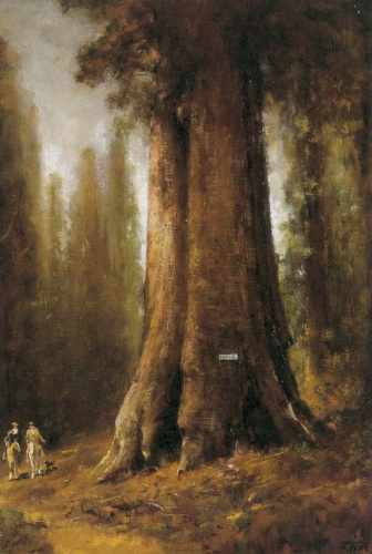 California Redwood - Thomas Hill