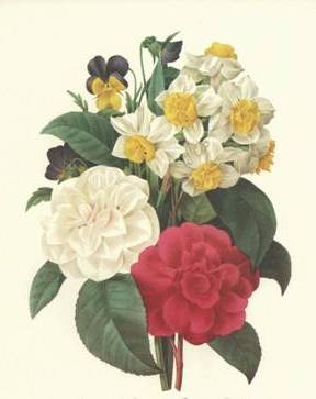 Camellias, Narcissus, and Pansies - Pierre Redoute