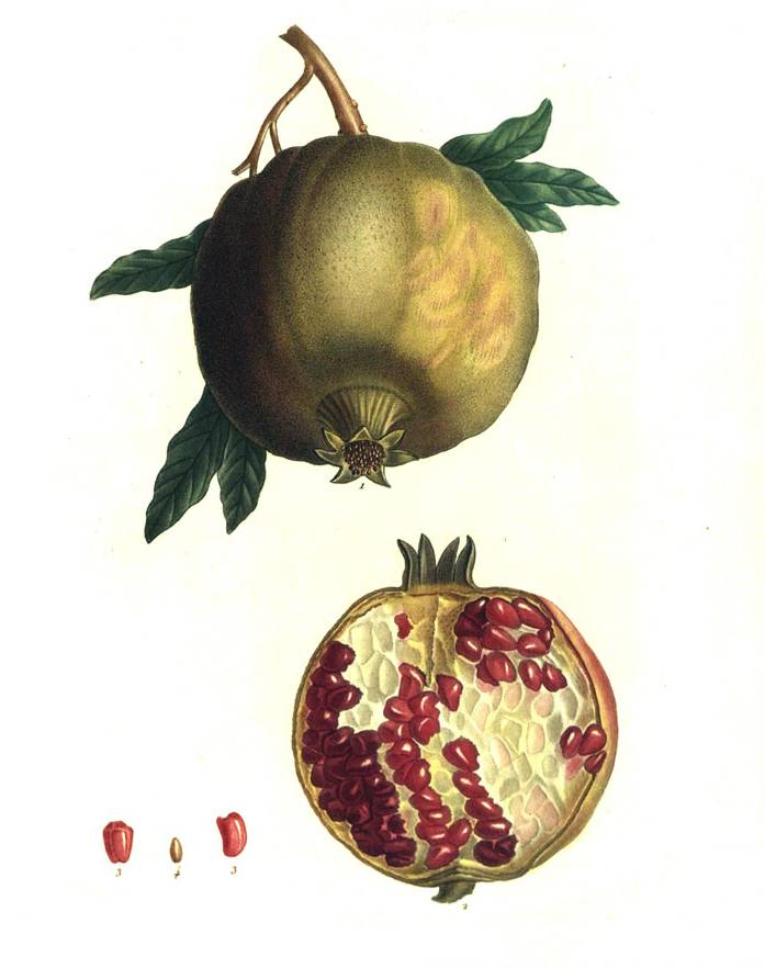 Pomegranate - Pierre Redoute