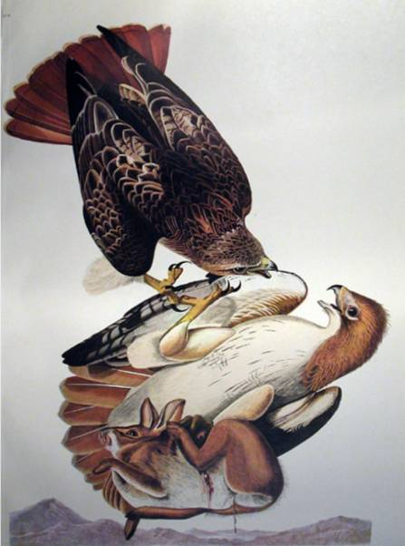 Red Tailed Hawk - John James Audubon