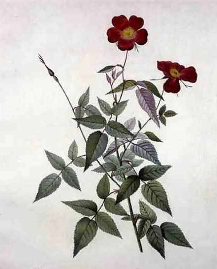 Rosa Indica - Pierre Redoute