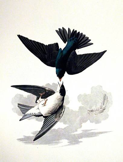 White-bellied Swallow - John James Audubon